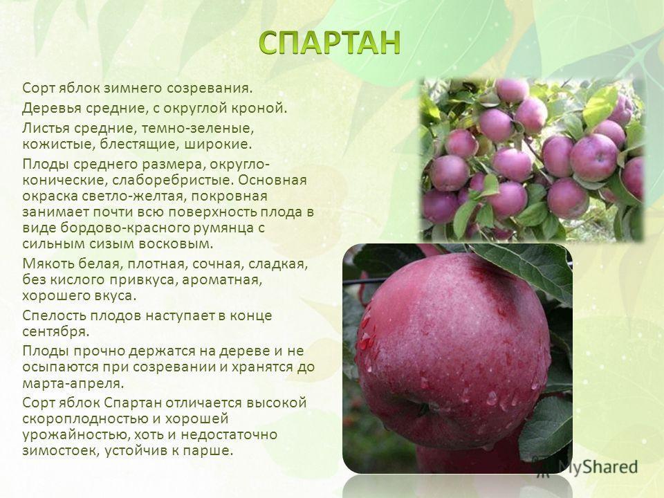Сорт яблок зимнего созревания. Деревья средние, с округлой кроной. Листья средние, темно-зеленые, кожистые, блестящие, широкие. Плоды среднего размера, округло- конические, слаборебристые. Основная окраска светло-желтая, покровная занимает почти всю