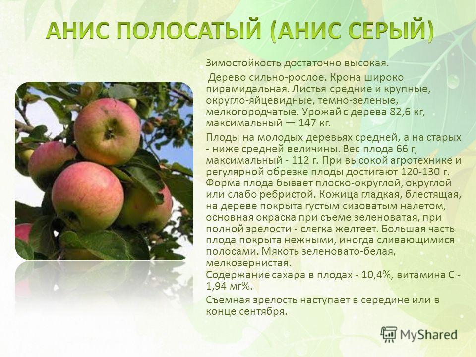 Зимостойкость достаточно высокая. Дерево сильно-рослое. Крона широко пирамидальная. Листья средние и крупные, округло-яйцевидные, темно-зеленые, мелкогородчатые. Урожай с дерева 82,6 кг, максимальный 147 кг. Плоды на молодых деревьях средней, а на ст