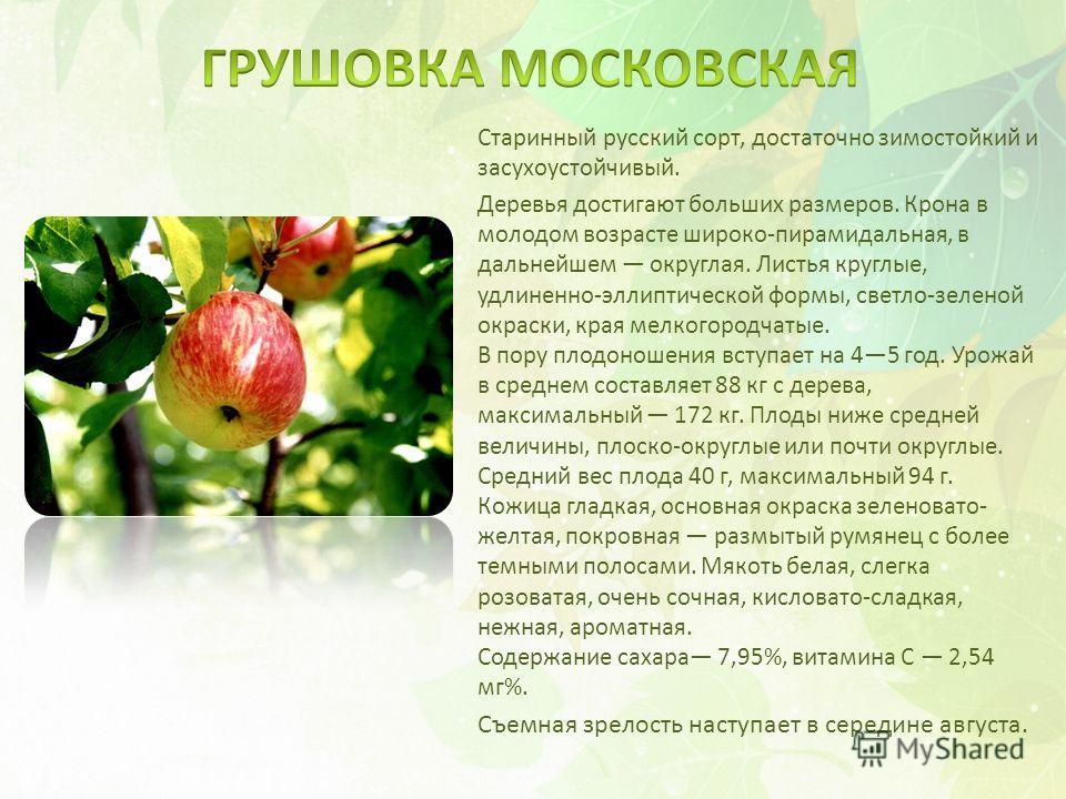 Старинный русский сорт, достаточно зимостойкий и засухоустойчивый. Деревья достигают больших размеров. Крона в молодом возрасте широко-пирамидальная, в дальнейшем округлая. Листья круглые, удлиненно-эллиптической формы, светло-зеленой окраски, края м