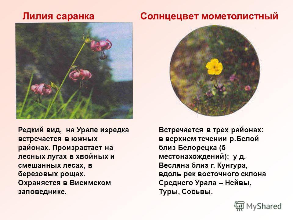 Лилия саранкаСолнцецвет мометолистный Редкий вид, на Урале изредка встречается в южных районах. Произрастает на лесных лугах в хвойных и смешанных лесах, в березовых рощах. Охраняется в Висимском заповеднике. Встречается в трех районах: в верхнем теч