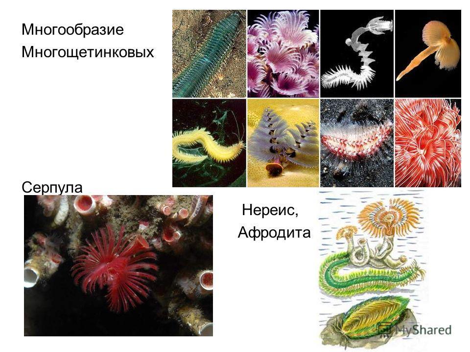 Многообразие Многощетинковых Серпула Нереис, Афродита