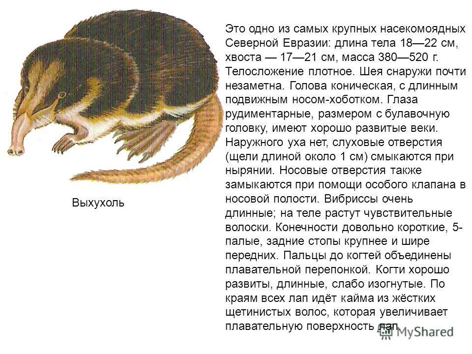 Выхухоль Это одно из самых крупных насекомоядных Северной Евразии: длина тела 18 22 см, хвоста 17 21 см, масса 380 520 г. Телосложение плотное. Шея снаружи почти незаметна. Голова коническая, с длинным подвижным носом-хоботком. Глаза рудиментарные, р