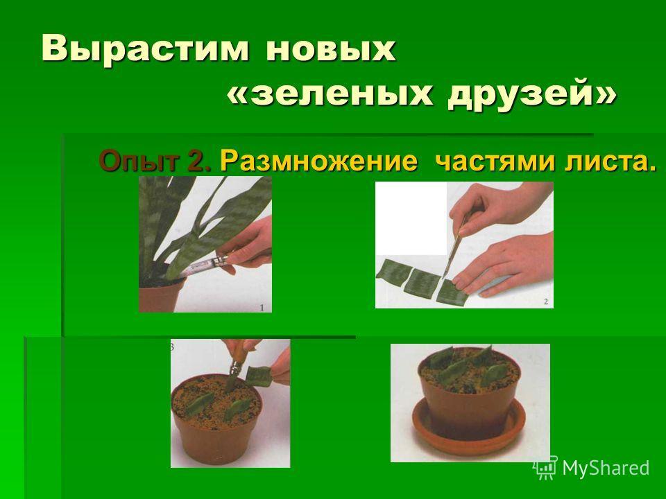 Вырастим новых «зеленых друзей» Опыт 2. Размножение частями листа. Опыт 2. Размножение частями листа.