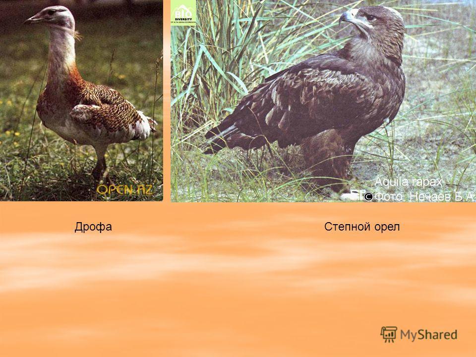 Дрофа Степной орел