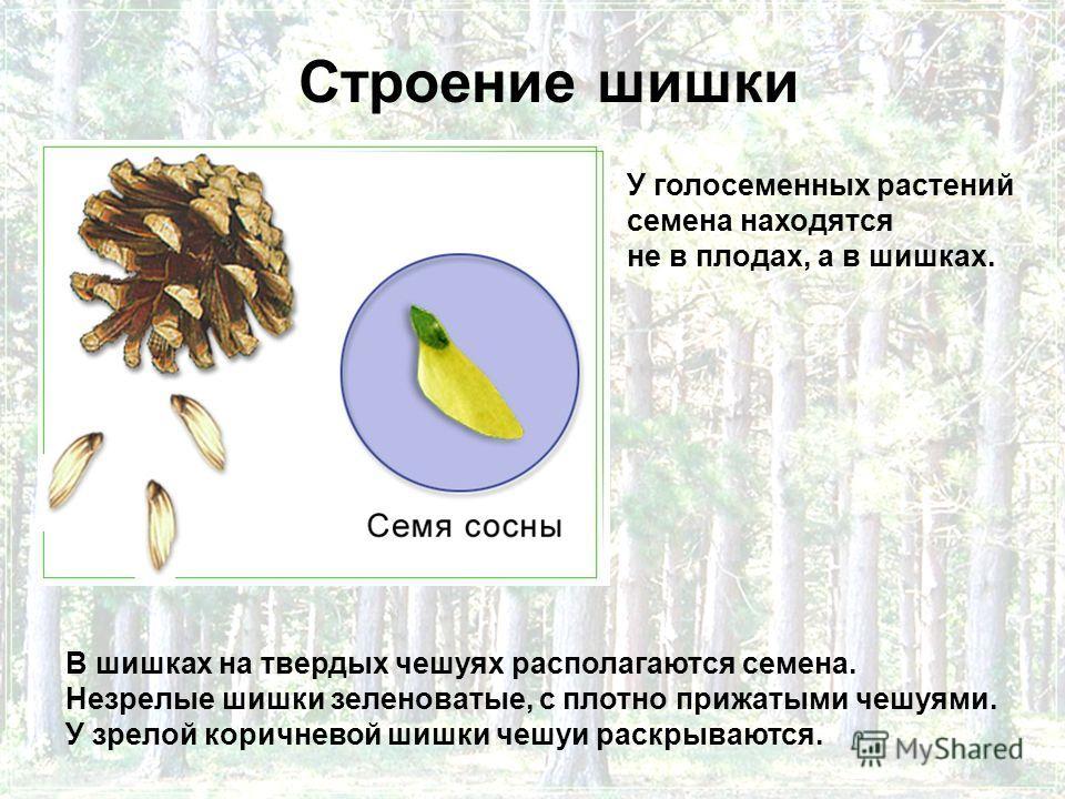 Строение шишки В шишках на твердых чешуях располагаются семена. Незрелые шишки зеленоватые, с плотно прижатыми чешуями. У зрелой коричневой шишки чешуи раскрываются. У голосеменных растений семена находятся не в плодах, а в шишках.