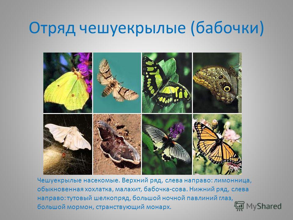 Отряд чешуекрылые (бабочки) Чешуекрылые насекомые. Верхний ряд, слева направо: лимонница, обыкновенная хохлатка, малахит, бабочка-сова. Нижний ряд, слева направо: тутовый шелкопряд, большой ночной павлиний глаз, большой мормон, странствующий монарх.