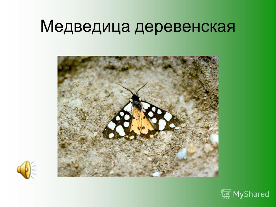 Кольца мимикрии ( жук майка)