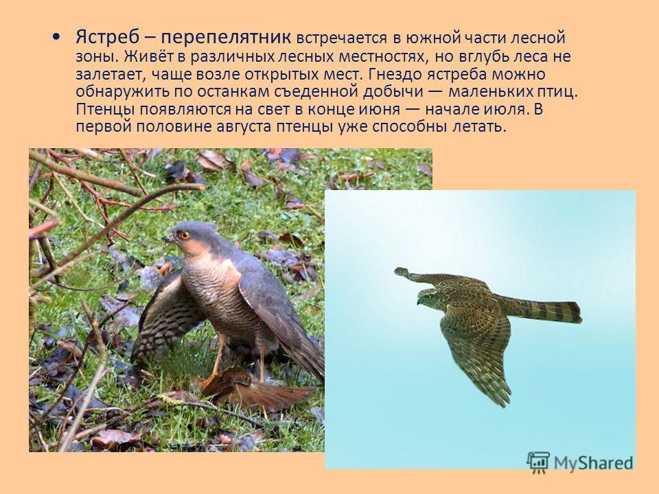 Ястреб – перепелятник встречается в южной части лесной зоны. Живёт в различных лесных местностях, но вглубь леса не залетает, чаще возле открытых мест. Гнездо ястреба можно обнаружить по останкам съеденной добычи маленьких птиц. Птенцы появляются на