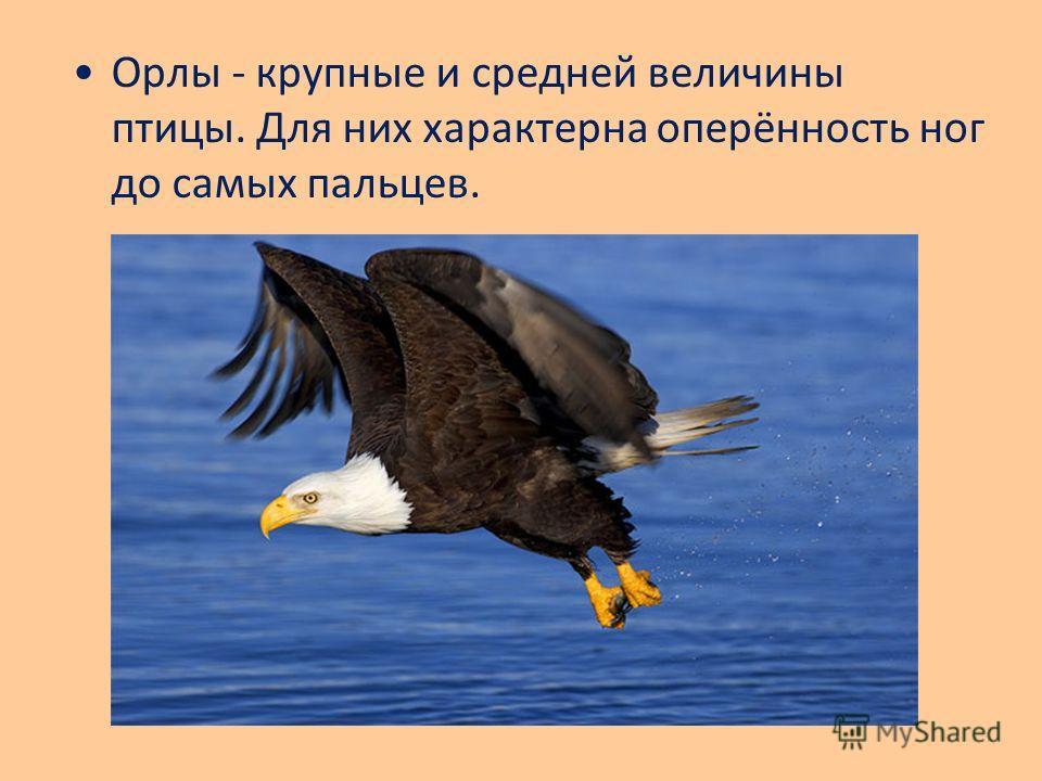 Орлы - крупные и средней величины птицы. Для них характерна оперённость ног до самых пальцев.