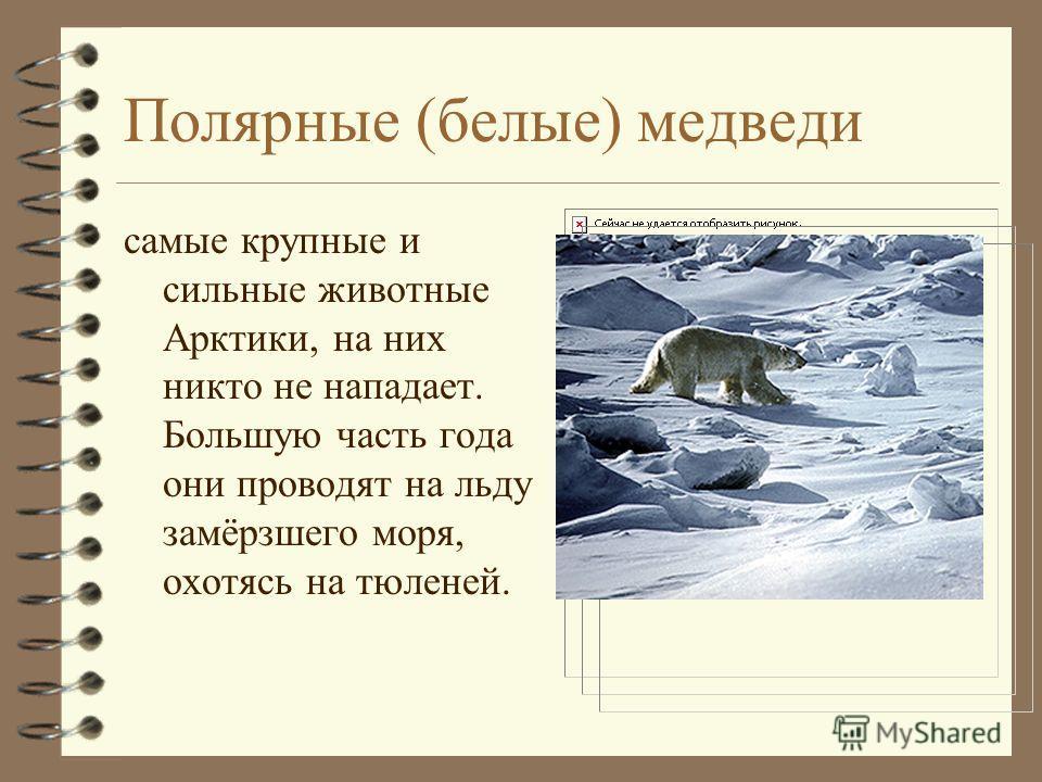Полярные (белые) медведи самые крупные и сильные животные Арктики, на них никто не нападает. Большую часть года они проводят на льду замёрзшего моря, охотясь на тюленей.