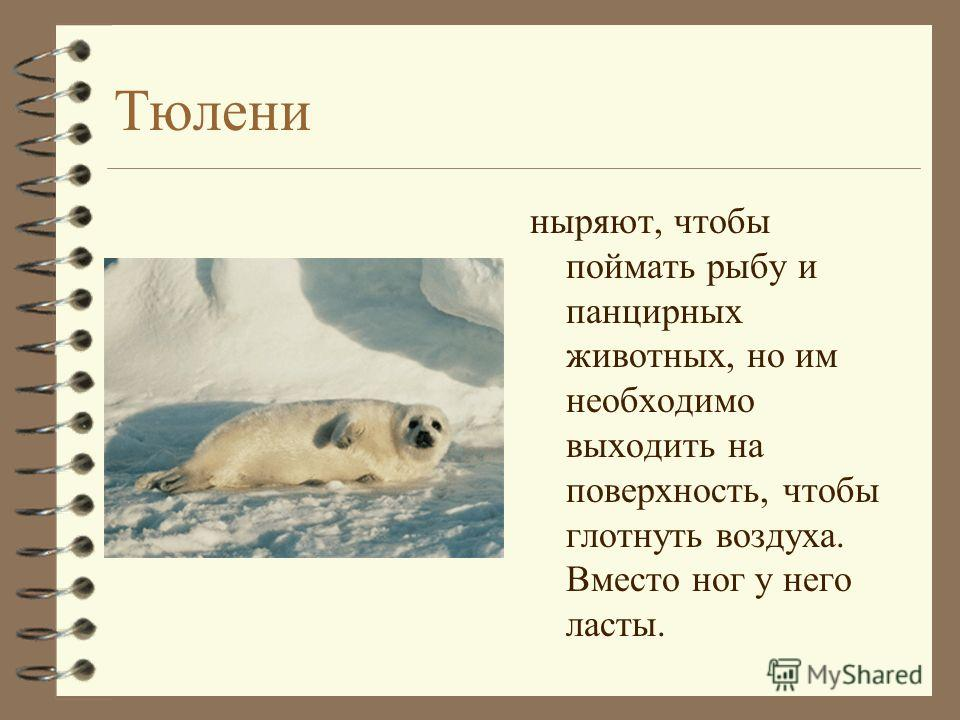 Тюлени ныряют, чтобы поймать рыбу и панцирных животных, но им необходимо выходить на поверхность, чтобы глотнуть воздуха. Вместо ног у него ласты.