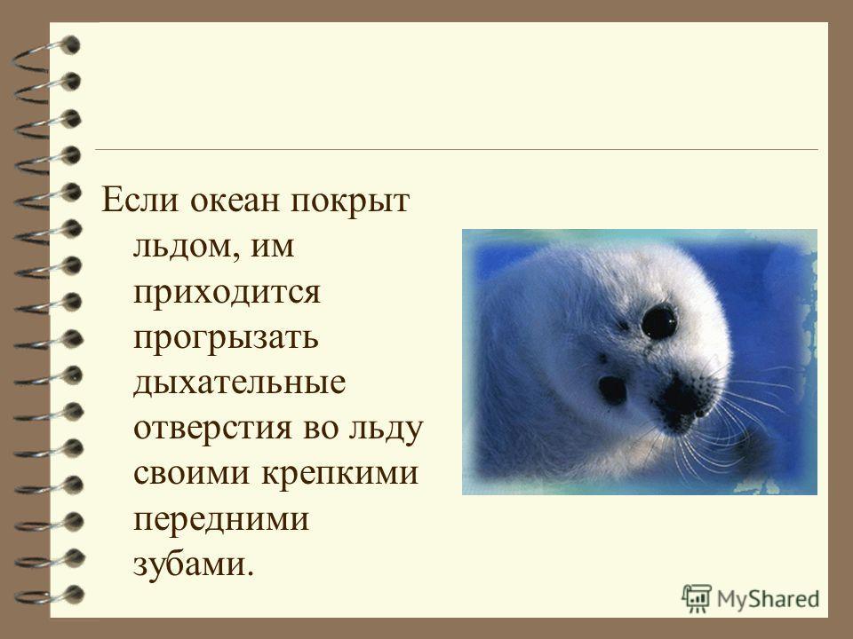 Если океан покрыт льдом, им приходится прогрызать дыхательные отверстия во льду своими крепкими передними зубами.