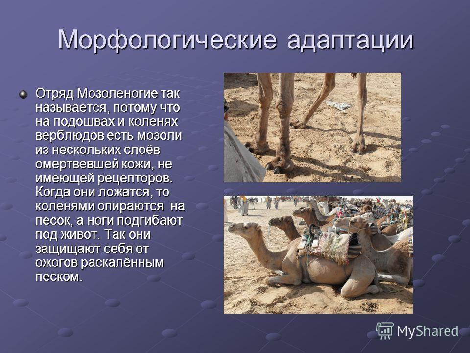 Морфологические адаптации Отряд Мозоленогие так называется, потому что на подошвах и коленях верблюдов есть мозоли из нескольких слоёв омертвевшей кожи, не имеющей рецепторов. Когда они ложатся, то коленями опираются на песок, а ноги подгибают под жи