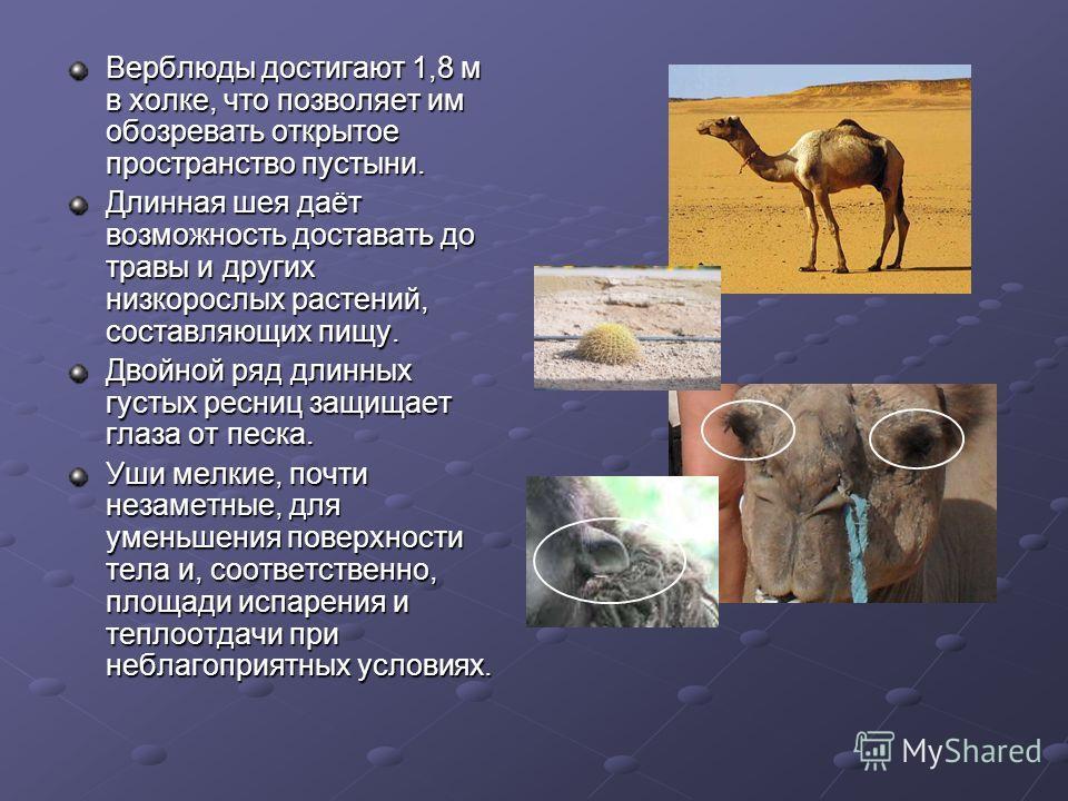 Верблюды достигают 1,8 м в холке, что позволяет им обозревать открытое пространство пустыни. Длинная шея даёт возможность доставать до травы и других низкорослых растений, составляющих пищу. Двойной ряд длинных густых ресниц защищает глаза от песка.
