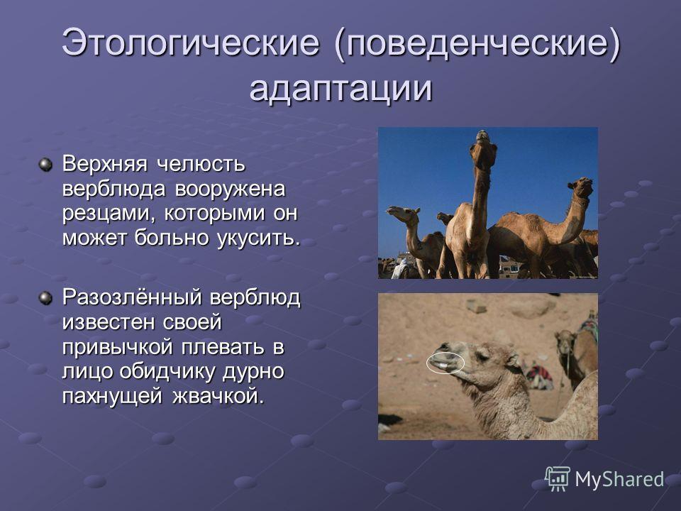 Этологические (поведенческие) адаптации Верхняя челюсть верблюда вооружена резцами, которыми он может больно укусить. Разозлённый верблюд известен своей привычкой плевать в лицо обидчику дурно пахнущей жвачкой.