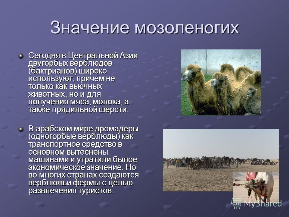 Значение мозоленогих Сегодня в Центральной Азии двугорбых верблюдов (бактрианов) широко используют, причём не только как вьючных животных, но и для получения мяса, молока, а также прядильной шерсти. В арабском мире дромадеры (одногорбые верблюды) как