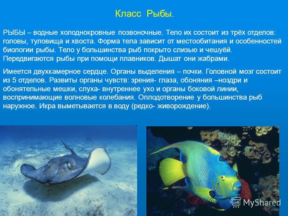 Класс Рыбы. РЫБЫ – водные холоднокровные позвоночные. Тело их состоит из трёх отделов: головы, туловища и хвоста. Форма тела зависит от местообитания и особенностей биологии рыбы. Тело у большинства рыб покрыто слизью и чешуёй. Передвигаются рыбы при