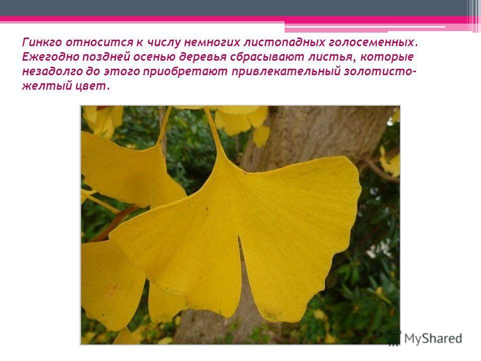 Гинкго относится к числу немногих листопадных голосеменных. Ежегодно поздней осенью деревья сбрасывают листья, которые незадолго до этого приобретают привлекательный золотисто- желтый цвет.
