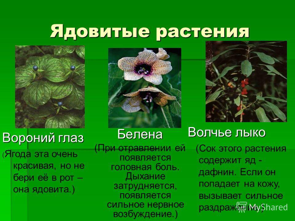 Ядовитые растения Белена (При отравлении ей появляется головная боль. Дыхание затрудняется, появляется сильное нервное возбуждение.) Волчье лыко (Сок этого растения содержит яд - дафнин. Если он попадает на кожу, вызывает сильное раздражение.) Ворони