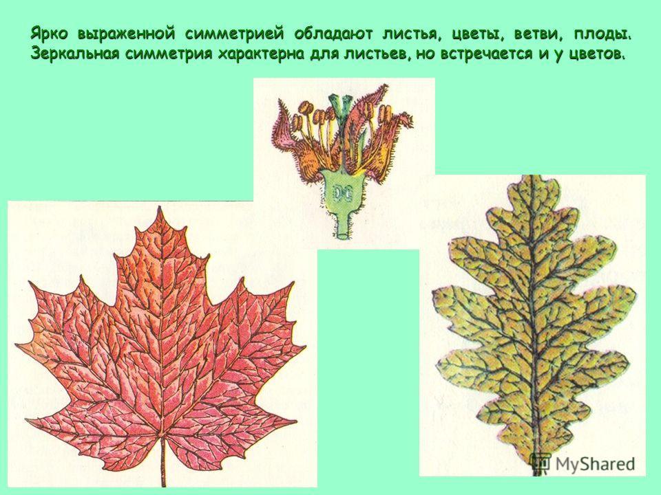 Ярко выраженной симметрией обладают листья, цветы, ветви, плоды. Зеркальная симметрия характерна для листьев, но встречается и у цветов.