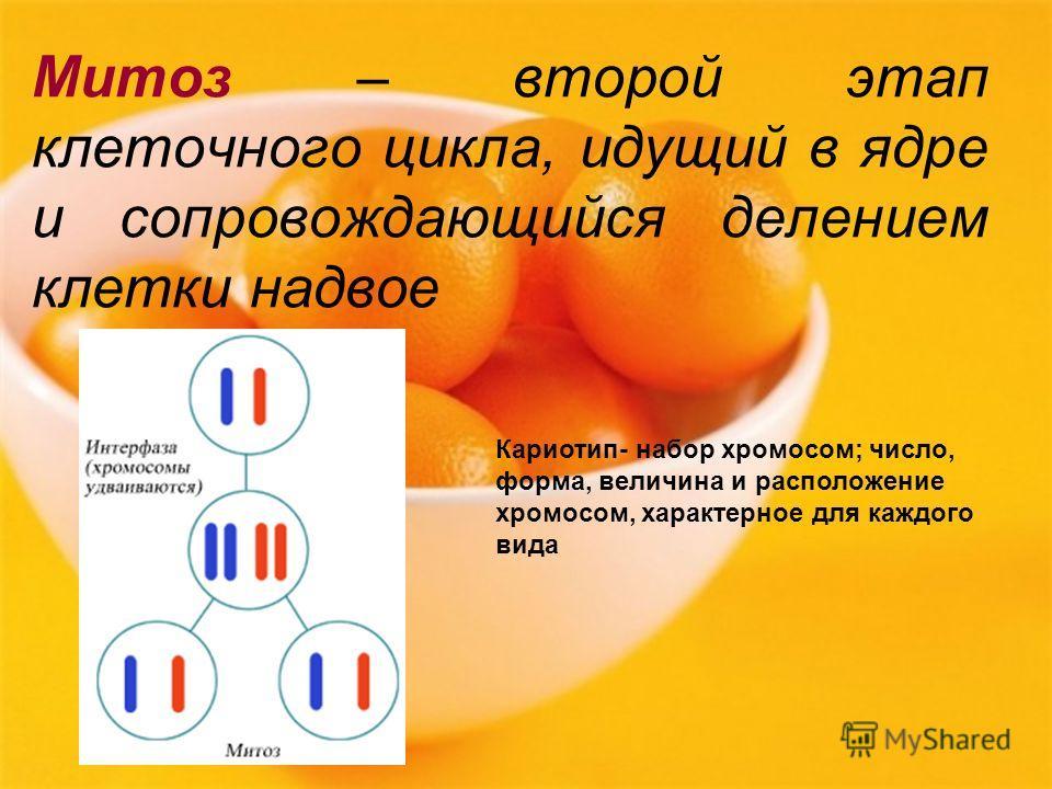 Митоз – второй этап клеточного цикла, идущий в ядре и сопровождающийся делением клетки надвое Кариотип- набор хромосом; число, форма, величина и расположение хромосом, характерное для каждого вида