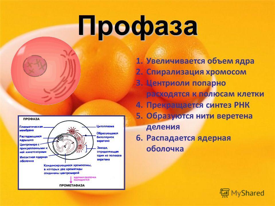 Профаза 1.Увеличивается объем ядра 2.Спирализация хромосом 3.Центриоли попарно расходятся к полюсам клетки 4.Прекращается синтез РНК 5.Образуются нити веретена деления 6.Распадается ядерная оболочка
