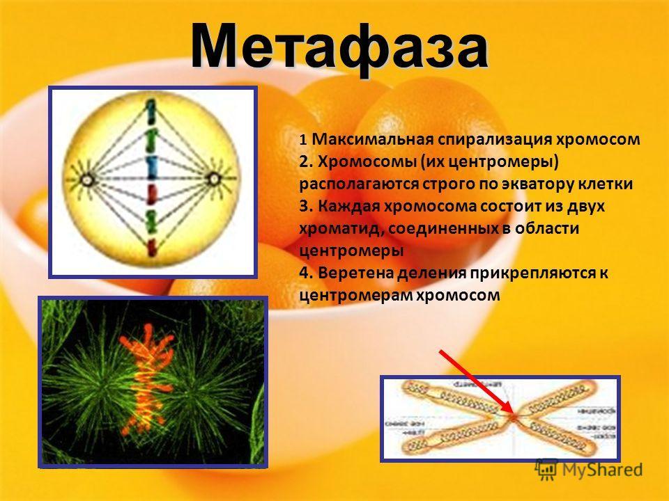 Метафаза 1 Максимальная спирализация хромосом 2. Хромосомы (их центромеры) располагаются строго по экватору клетки 3. Каждая хромосома состоит из двух хроматид, соединенных в области центромеры 4. Веретена деления прикрепляются к центромерам хромосом