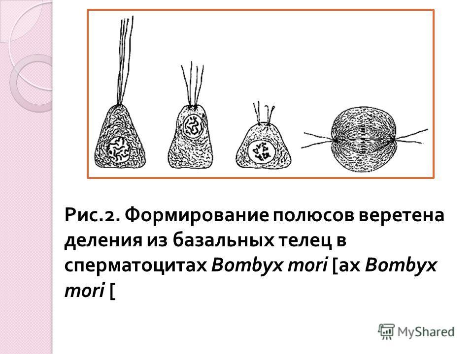 Рис.2. Формирование полюсов веретена деления из базальных телец в сперматоцитах Bombyx mori [ ах Bombyx mori [