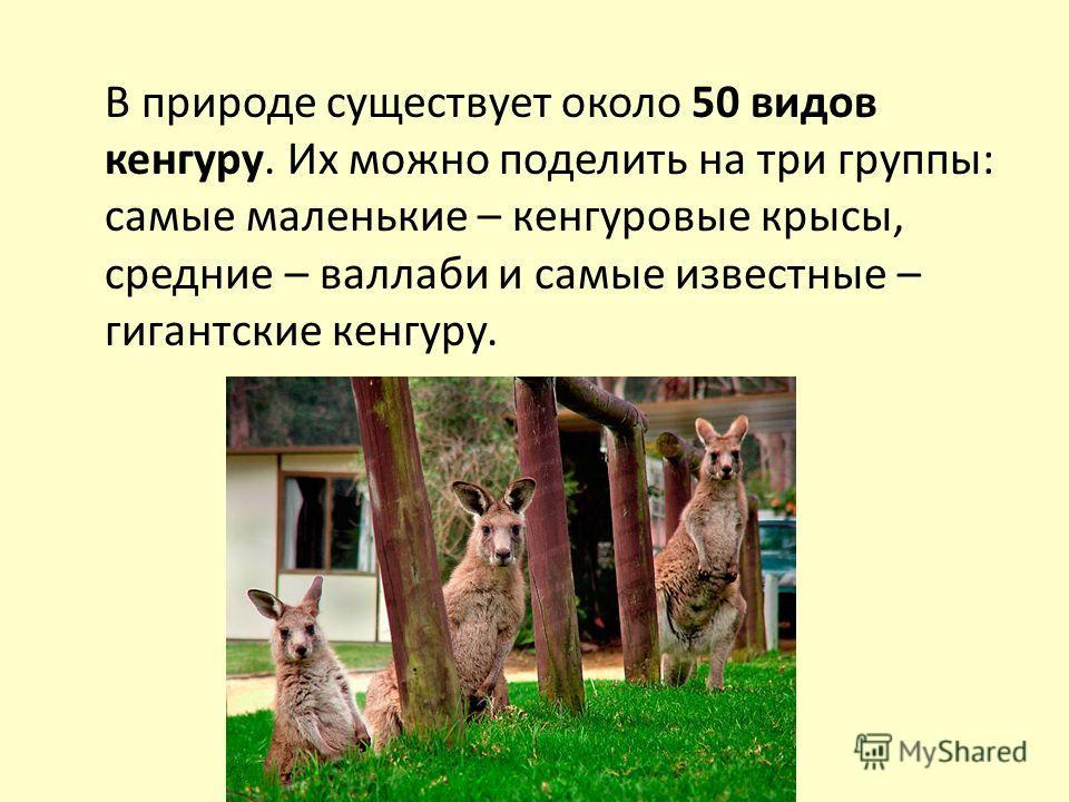 В природе существует около 50 видов кенгуру. Их можно поделить на три группы: самые маленькие – кенгуровые крысы, средние – валлаби и самые известные – гигантские кенгуру.