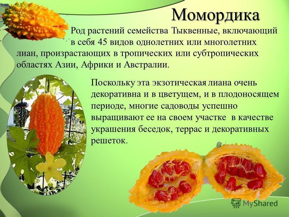 Момордика Род растений семейства Тыквенные, включающий в себя 45 видов однолетних или многолетних Поскольку эта экзотическая лиана очень декоративна и в цветущем, и в плодоносящем периоде, многие садоводы успешно выращивают ее на своем участке в каче