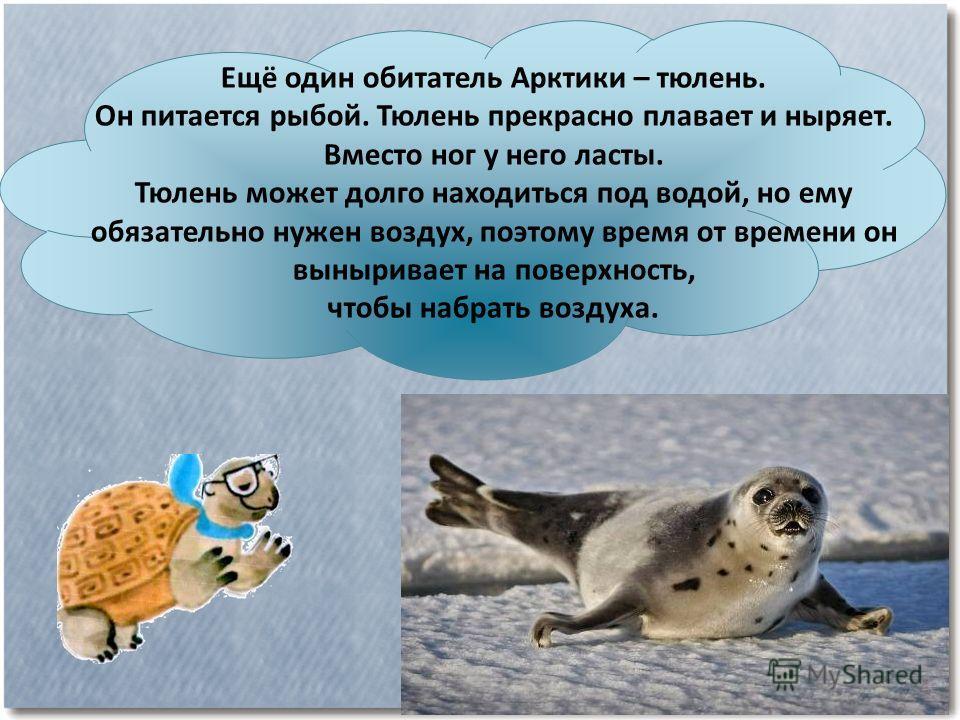 Ещё один обитатель Арктики – тюлень. Он питается рыбой. Тюлень прекрасно плавает и ныряет. Вместо ног у него ласты. Тюлень может долго находиться под водой, но ему обязательно нужен воздух, поэтому время от времени он выныривает на поверхность, чтобы
