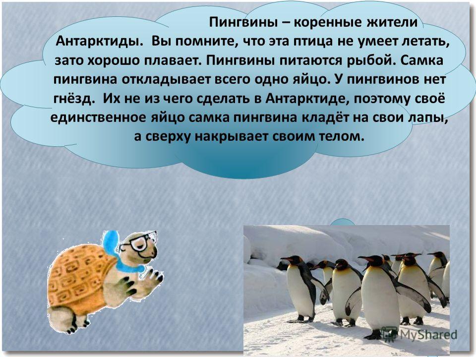 Пингвины – коренные жители Антарктиды. Вы помните, что эта птица не умеет летать, зато хорошо плавает. Пингвины питаются рыбой. Самка пингвина откладывает всего одно яйцо. У пингвинов нет гнёзд. Их не из чего сделать в Антарктиде, поэтому своё единст
