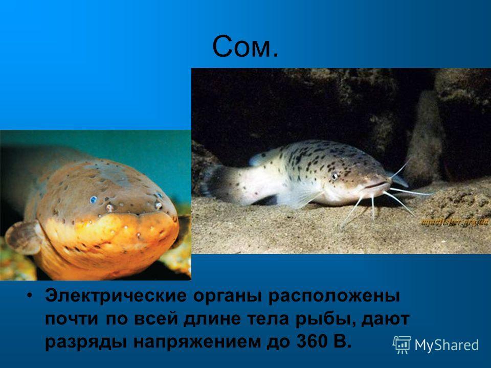 Сом. Электрические органы расположены почти по всей длине тела рыбы, дают разряды напряжением до 360 В.
