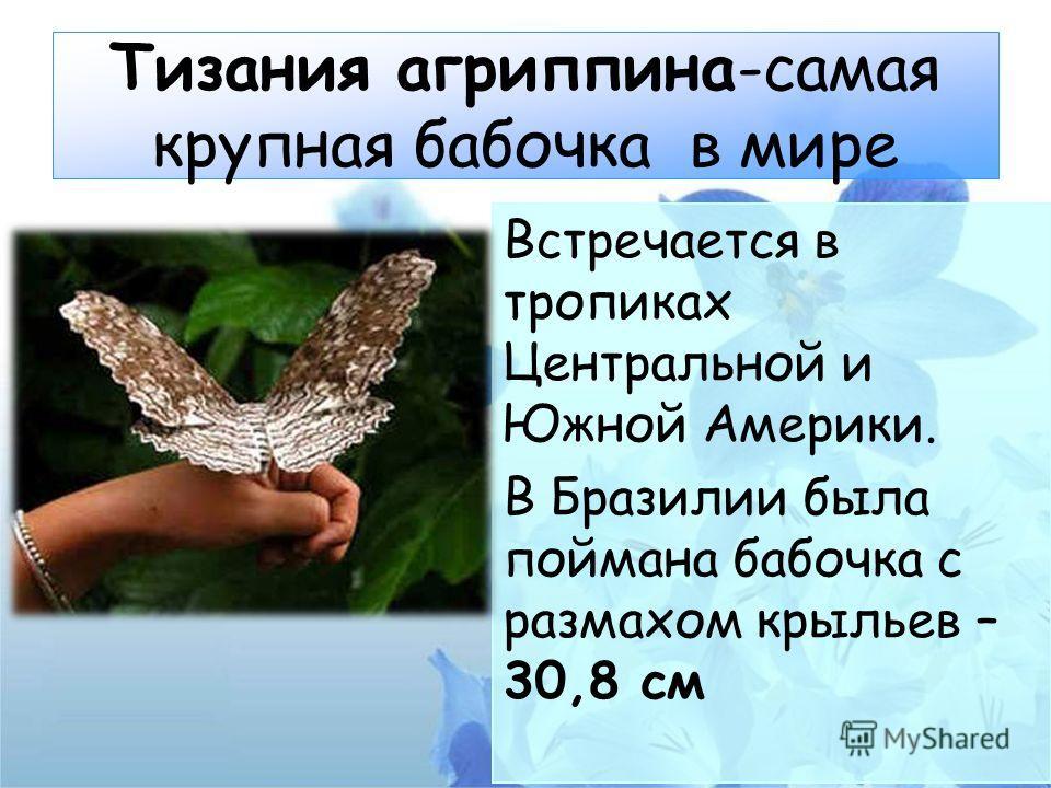 Тизания агриппина-самая крупная бабочка в мире Встречается в тропиках Центральной и Южной Америки. В Бразилии была поймана бабочка с размахом крыльев – 30,8 см
