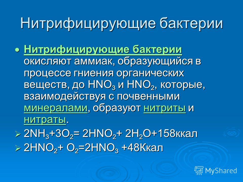 Нитрифицирующие бактерии Нитрифицирующие бактерии окисляют аммиак, образующийся в процессе гниения органических веществ, до HNO 3 и HNO 2, которые, взаимодействуя с почвенными минералами, образуют нитриты и нитраты. Нитрифицирующие бактерии окисляют