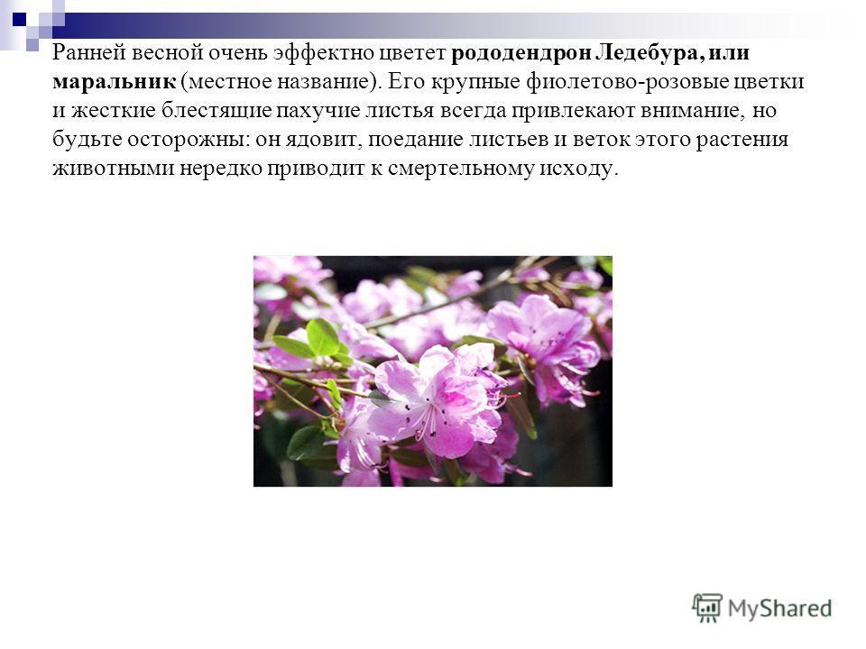 Ранней весной очень эффектно цветет рододендрон Ледебура, или маральник (местное название). Его крупные фиолетово-розовые цветки и жесткие блестящие пахучие листья всегда привлекают внимание, но будьте осторожны: он ядовит, поедание листьев и веток э