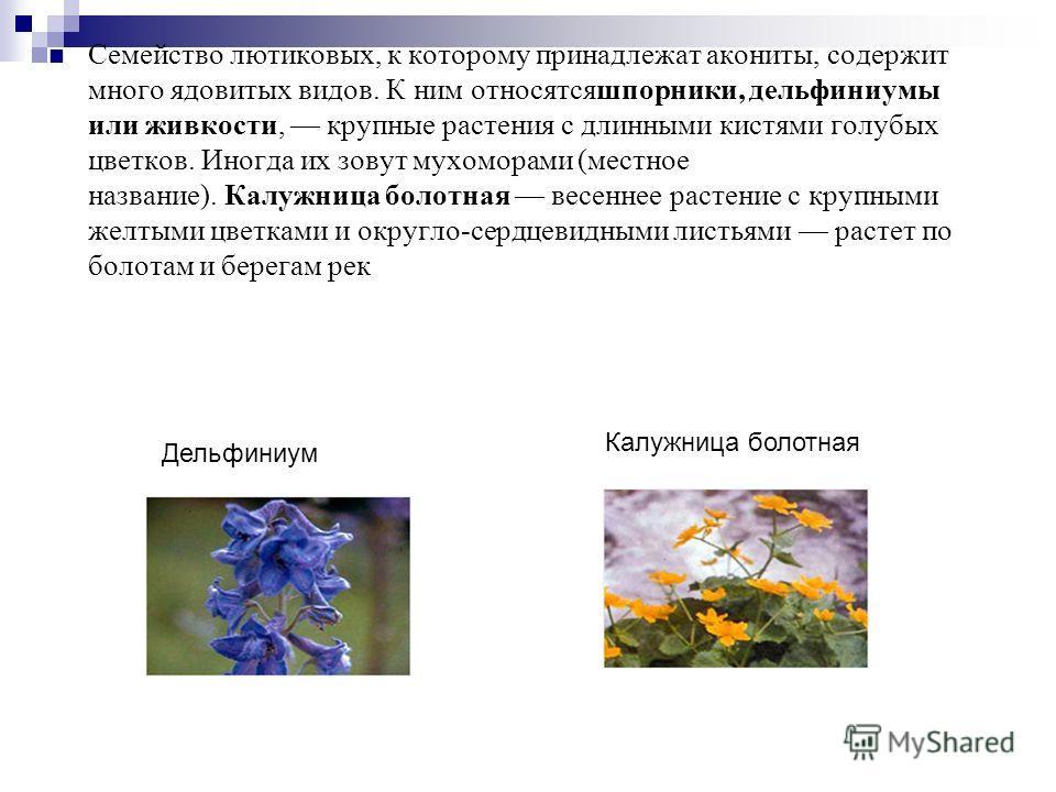 Семейство лютиковых, к которому принадлежат акониты, содержит много ядовитых видов. К ним относятсяшпорники, дельфиниумы или живкости, крупные растения с длинными кистями голубых цветков. Иногда их зовут мухоморами (местное название). Калужница болот