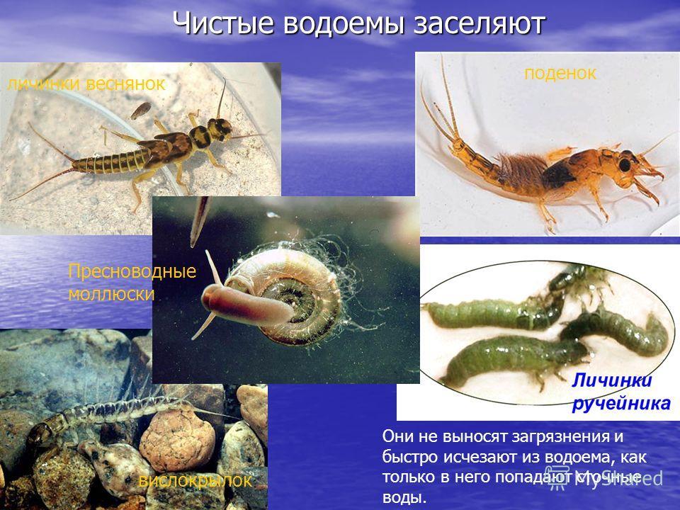 Чистые водоемы заселяют поденок Они не выносят загрязнения и быстро исчезают из водоема, как только в него попадают сточные воды. вислокрылок личинки веснянок Пресноводные моллюски