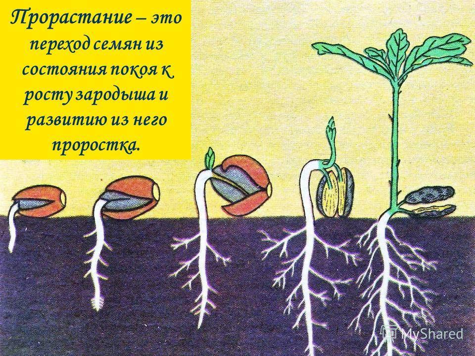 Прорастание – это переход семян из состояния покоя к росту зародыша и развитию из него проростка.