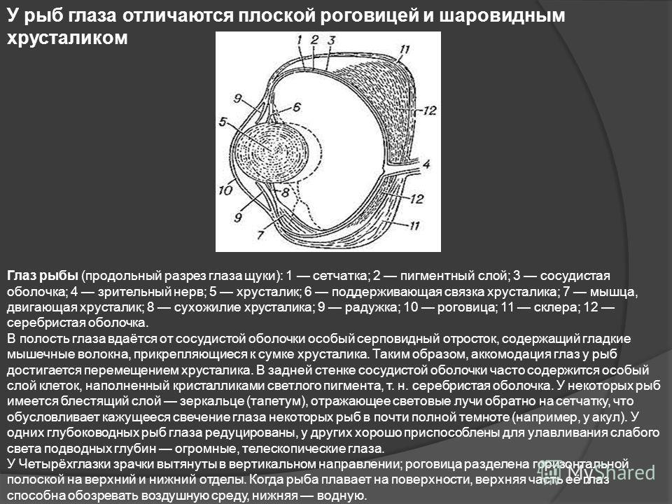 У рыб глаза отличаются плоской роговицей и шаровидным хрусталиком Глаз рыбы (продольный разрез глаза щуки): 1 сетчатка; 2 пигментный слой; 3 сосудистая оболочка; 4 зрительный нерв; 5 хрусталик; 6 поддерживающая связка хрусталика; 7 мышца, двигающая х