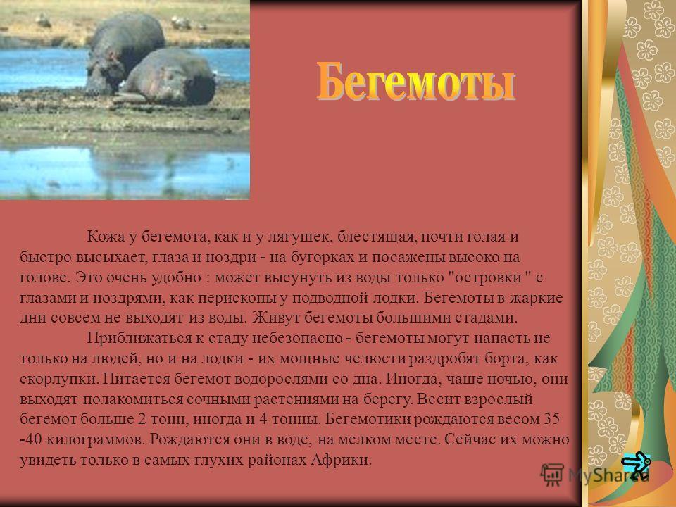 Носорожьи санитары - египетские цапли и волоклюи - ждут, пока гиганты успокоятся, а затем начинают свои обычные процедуры: терпеливо, сантиметр за сантиметром осматривают грубую шкуру, выклевывая клещей и других паразитов, Завершив профилактический о