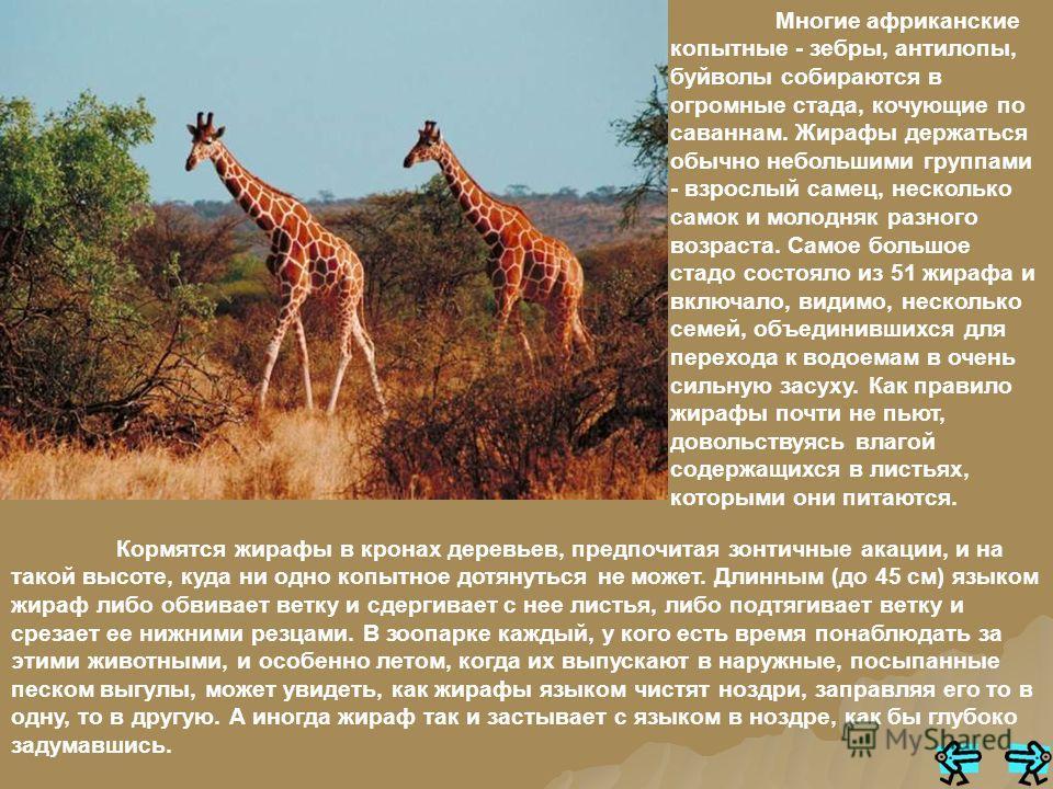 Это странное на вид животное живет в саваннах Африки. Половина его роста - длинная. до 3 метров, шея. Крошечная голова с двумя короткими рожками, обтянутыми кожей, поднята над землей на 5 - 6 метров. Поэтому жирафу не просто до воды дотянутся, чтобы