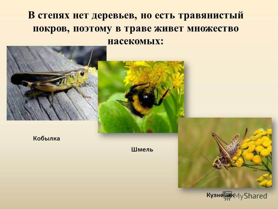 В степях нет деревьев, но есть травянистый покров, поэтому в траве живет множество насекомых: Кобылка Кузнечик Шмель