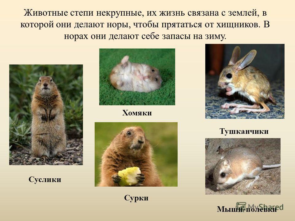 Животные степи некрупные, их жизнь связана с землей, в которой они делают норы, чтобы прятаться от хищников. В норах они делают себе запасы на зиму. Суслики Хомяки Тушканчики Сурки Мыши-полевки