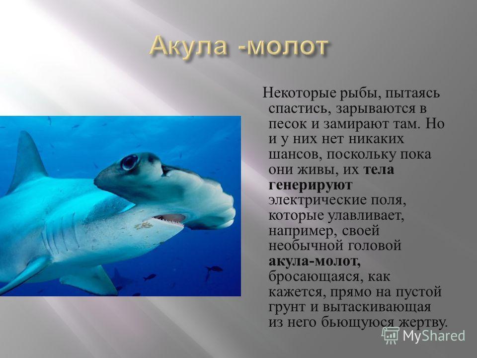 Некоторые рыбы, пытаясь спастись, зарываются в песок и замирают там. Но и у них нет никаких шансов, поскольку пока они живы, их тела генерируют электрические поля, которые улавливает, например, своей необычной головой акула - молот, бросающаяся, как