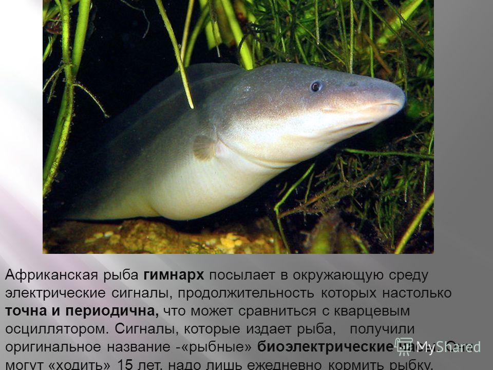 Африканская рыба гимнарх посылает в окружающую среду электрические сигналы, продолжительность которых настолько точна и периодична, что может сравниться с кварцевым осциллятором. Сигналы, которые издает рыба, получили оригинальное название -«рыбные»