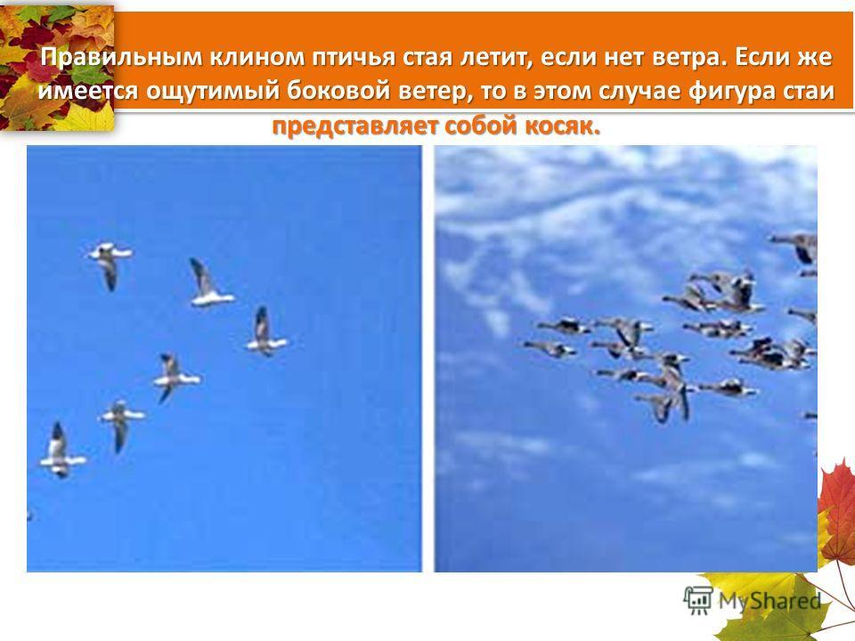 Правильным клином птичья стая летит, если нет ветра. Если же имеется ощутимый боковой ветер, то в этом случае фигура стаи представляет собой косяк.