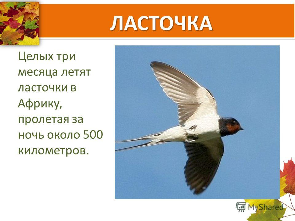 ЛАСТОЧКА Целых три месяца летят ласточки в Африку, пролетая за ночь около 500 километров.