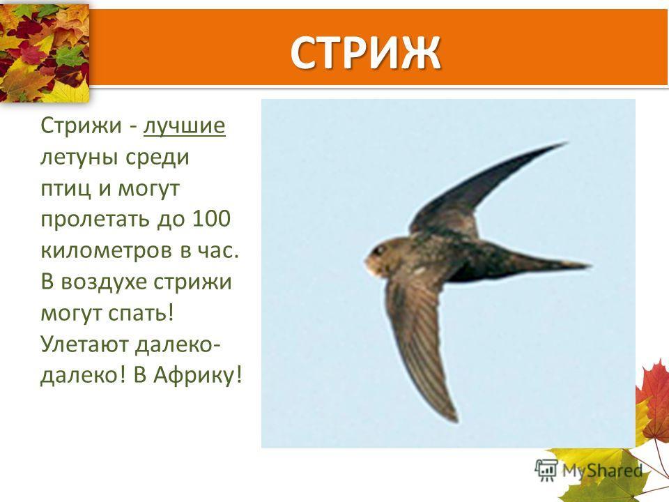 СТРИЖ Стрижи - лучшие летуны среди птиц и могут пролетать до 100 километров в час. В воздухе стрижи могут спать! Улетают далеко- далеко! В Африку!