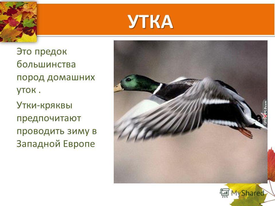УТКА Это предок большинства пород домашних уток. Утки-кряквы предпочитают проводить зиму в Западной Европе